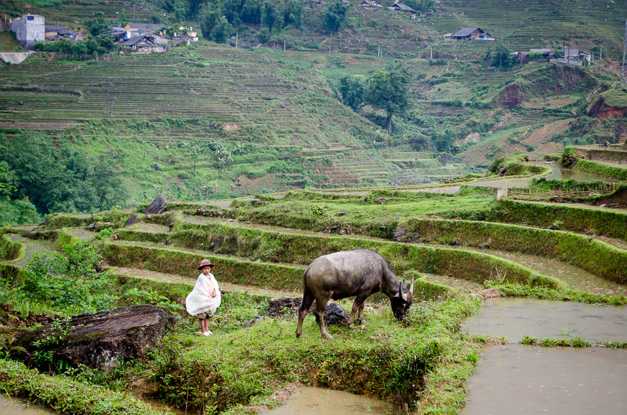 A boy and a water buffalo in the rice fields of Ta Van Village, Vietnam.